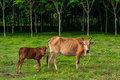 Cow asian cows in tropical field and rubber trees Royalty Free Stock Photo