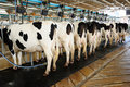 Cow automation farming agricultural Royalty Free Stock Images