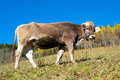 Cow in autumn val di scalve alps mountains italy Royalty Free Stock Photo