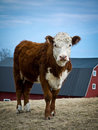 Cow with Barn in background Royalty Free Stock Photography