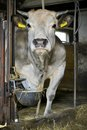 Cow in a barn standing Royalty Free Stock Images