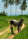 Cow beach palm trees Nicaragua Caribbean Royalty Free Stock Image