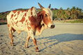 Cow on beautiful tropical beach goa india Royalty Free Stock Photos