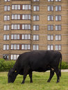 Cow by brown high rise accommodation black grazes in city centre brick flats in newcastle Stock Photos