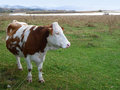 Cow brown and white mountain milk on a green grass field pasture Royalty Free Stock Photo