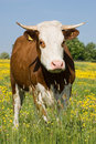 Cow with buttercups Royalty Free Stock Image