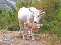Cow and calf Stock Photography