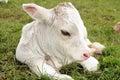 Cow calf Royalty Free Stock Photo