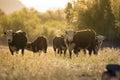 Cow & Calf Herd - Free Roaming by Salt River, Arizona Royalty Free Stock Photo