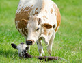 Cow and calf looking after young in green field Royalty Free Stock Photo