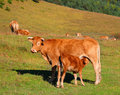 Cow and calf in the mountains Royalty Free Stock Photos