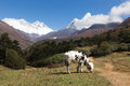 Cow calf pastures in front mount everest tengboche village nep white feeds ridge and ama dablam snow peaks base camp trekking Royalty Free Stock Images