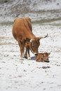 Cow with calf on piscini beach south coast of sardinia italy Stock Photo