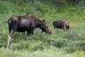Cow With Calf - Shiras Moose of The Colorado Rocky Mountains Royalty Free Stock Photo