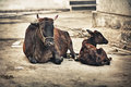 Cow and calf on the street india udaipur rajasthan Royalty Free Stock Image