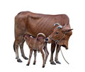 Cow and Calf Royalty Free Stock Photo
