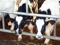 Cow-Calves in the farm Stock Photography