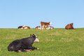 Cow and calves resting on the meadow Stock Photos