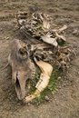 Cow Carcass Stock Image