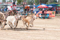 Cow cart racing festival in Thailand Stock Image