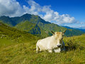 Cow in the Caucasus Mountains Stock Images