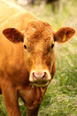 Cow chewing on grass Royalty Free Stock Photo