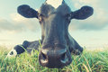 Cow close up Royalty Free Stock Photo