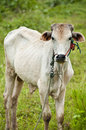 Cow in countryside, Thailand. Royalty Free Stock Photo