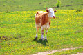 Cow on dandelion field Royalty Free Stock Photo