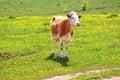 Cow on dandelion field Royalty Free Stock Photo
