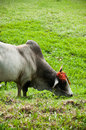 Cow with decorated horn Royalty Free Stock Image