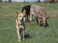 Cow dog a light brown sitting with two calves behind him one black and one reddish brown Royalty Free Stock Photography