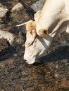 Cow drinking water Stock Photo