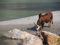 Cow drinking water sand beach ganges Royalty Free Stock Photo