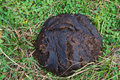 Cow dung on the ground Royalty Free Stock Photo