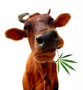Cow eating Royalty Free Stock Photo