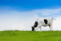 Cow eating grass black and white on clean sky and green field Stock Photo