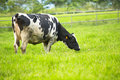 Cow eating grass in farm land Royalty Free Stock Photo
