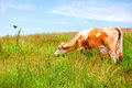 Cow eating grass in a field Stock Photos