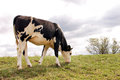Cow eating grass pasture ivanovo serbia Stock Images