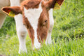 Cow eating grass series of cows Royalty Free Stock Photos