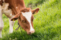 Cow eating grass series of cows Royalty Free Stock Photo