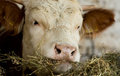 Cow eating hay close up of s head Royalty Free Stock Photos