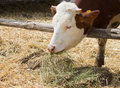 Cow eating hay on farm land Royalty Free Stock Images