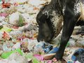 Cow eating polythene plastic bag trash environment pollution health hazard issue at garbage dump