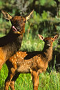 Cow Elk with Calf Royalty Free Stock Photo