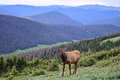 Cow Elk Grazing above the Poudre River Valley in Rocky Mountain National Park Royalty Free Stock Photo