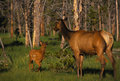 Cow Elk with Her Calf Royalty Free Stock Photos