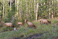 Cow elk herd a small of feeding Stock Photos