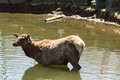 A cow elk in the water Stock Photos